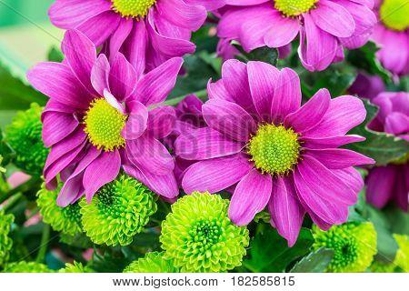 Chrysanthemums, Fresh Vibrant Purple And Green Florist Flowers.