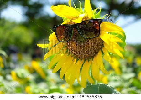 Sunflower with sun glasses in sunflower field