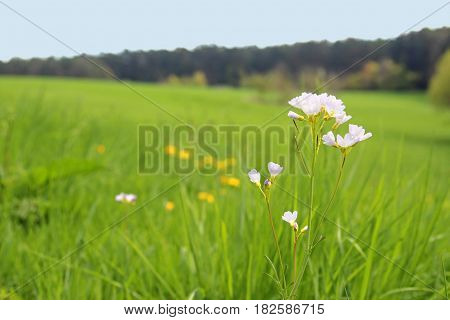cuckoo flower in a meadow forest in the background