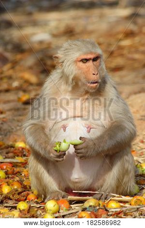 the monkey sits and eats a fruit, a fat monkey, India
