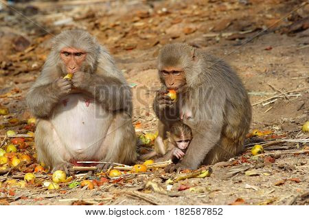 monkey family with baby sitting and eating fruits, India.