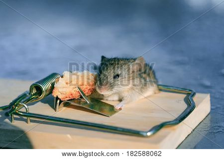 Cute house grey mouse or rat small rodent animal sitting at string mousetrap with bait indoors on blurred blue background