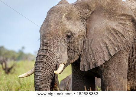 Side Profile Of An Elephant.