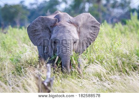 Elephant Eating In Front Of The Camera.