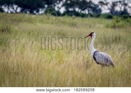 Wattled Crane In High Grass.