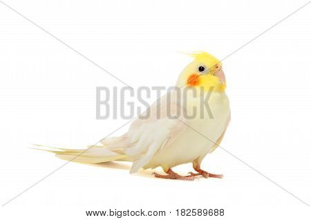 Portrait of parrot Cockatiel on white background