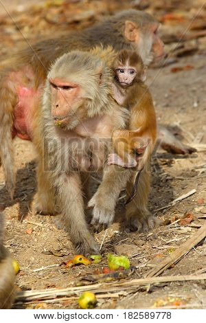 monkey female with baby eating fruit, India