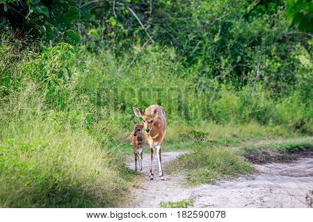 Baby Bushbuck And Mother On A Dirtroad.