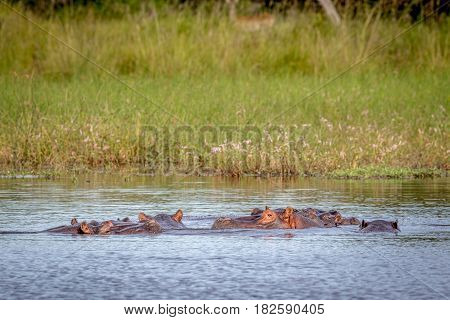 Hippos In The Water In The Okavango Delta.