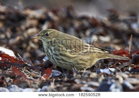 Eurasian rock pipit standing on the ground in its habitat