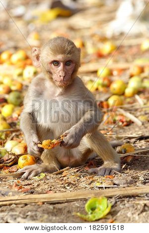 Monkey eating the fruit at the roadside of India.