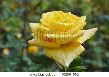 Midas touch yellow rose blooming in garden