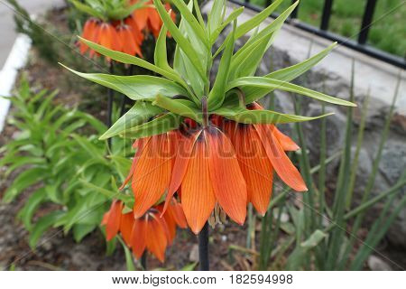 Fritillaria imperialis orange bells flowers on a spring day