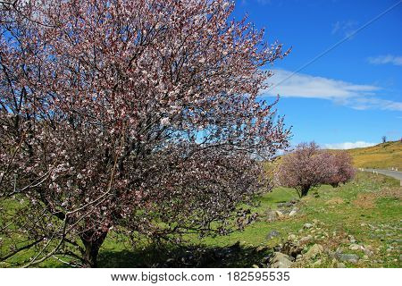 flowering trees along the road, a tree studded with pink flowers, grass and stones, the edge of the road, rich blue sky with a few clouds