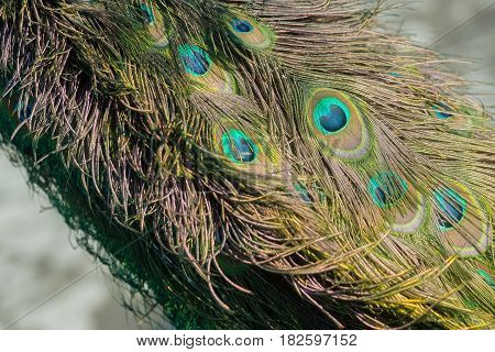 Beautiful peacock feathers or tail peafowl bird with extravagant plumage iridescent blue and green eyespots on blurred natural background. Glory coloring