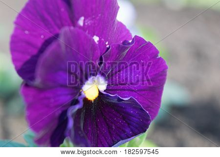 Pansies viola folio bright saturated with close-ups