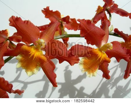 Closeup On A Cluster Of Red Orchids
