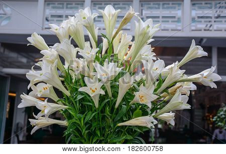 Whity Madonna Lily At Summer Time