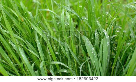 Green grass under the falling rain and blowing wind. HD video footage 1080p