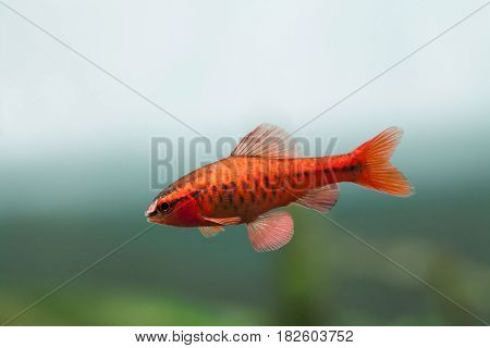 Underwater aquarium still life scene. Red color tropical fish Barb Puntius titteya swim on soft blue green background. Shallow depth of field.
