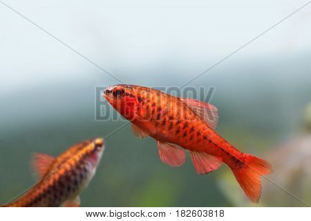 Colorful exotic fish close-up. Freshwater aquarium tank with Barbus Puntius titteya fishes. Aquatic nature still life scene. Shallow depth of field, blue green soft background.