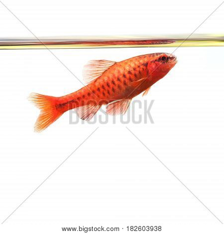 Dominant cherry barb male fish. Tropical freshwater aquarium water surface on white background. Puntius titteya belonging to the family Cyprinidae