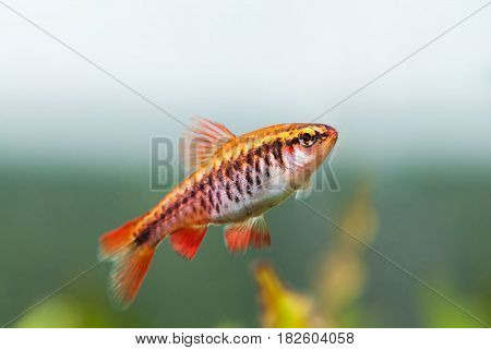 Fishtank landscape with red orange fish cherry Barb. Tropical freshwater aquarium with female Puntius titteya pet belonging to the family Cyprinidae