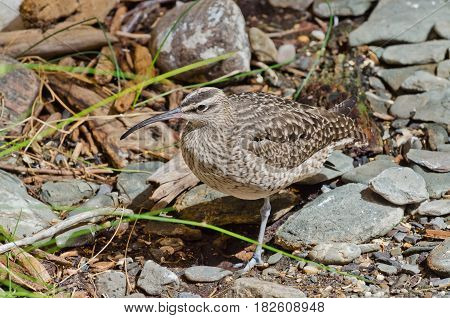 A close-up picture of a Whimbrel (Numenius Phaeopus) on the rock shore