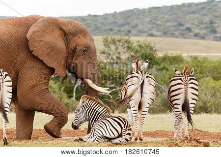 Elephant Getting Frustrated With Zebras