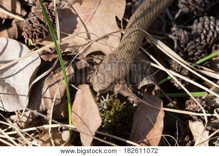 Red bronze color smooth snake Coronella austriaca mimics pattern of dry yellow leafs. Young reptile at spring sun