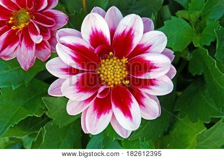 Pink flower of Dahlia in front of green leaves close-up