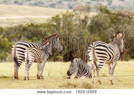 Zebras Standing And Lying Together