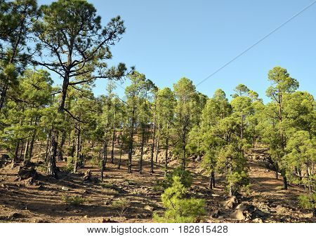 Pine forest in Teide National Park,Tenerife,Canary Islands,Spain.