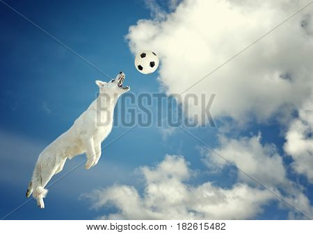 White dog catching a ball in midair