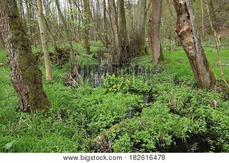 Image of the flowering buttercups in wetlands