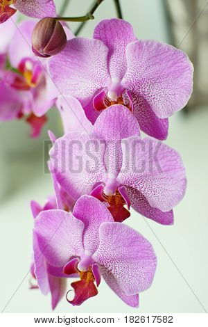 Orchid flowers near open and unblown buds.