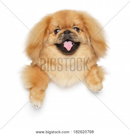 Pekingese Dog Above Banner