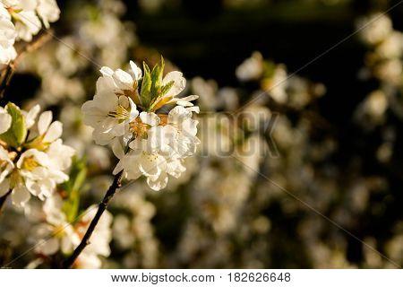 Sprig Apricot Flowers. Getting Roztsvitannya Apricot.