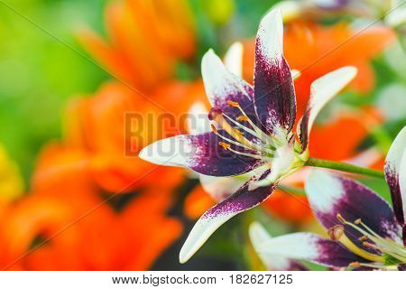 Closeup view of the purple and white daylily flowers in the garden against the blurred green and orange background.