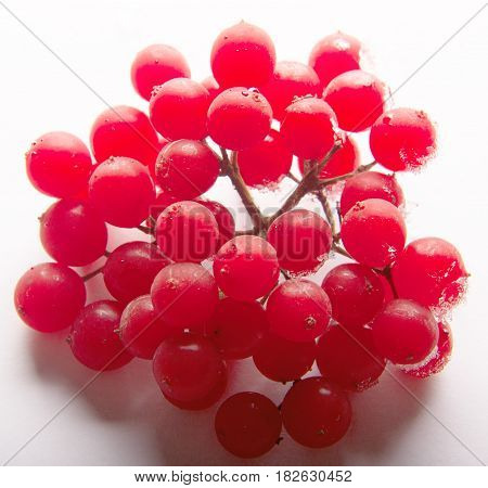 twig viburnum, guelder rose, guelder isolated on a white background