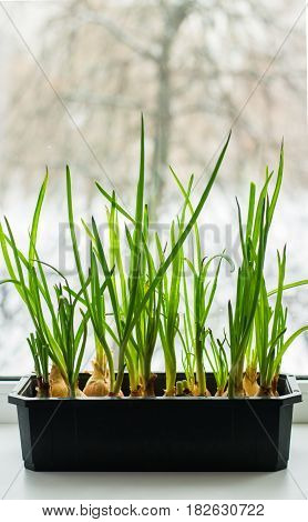 Cultivation of green onions seedlings in home