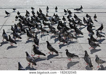 many pigeons which live in the city
