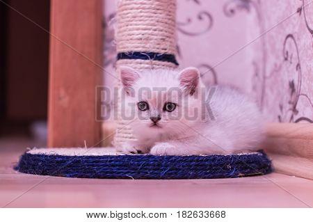 White British Shorthair Kitten Lies On Cat Scratching Post