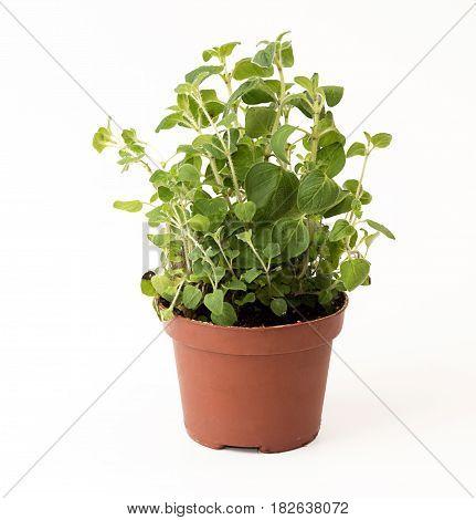 Oregano In Flowerpot On White Background. Plant In Flowerpot