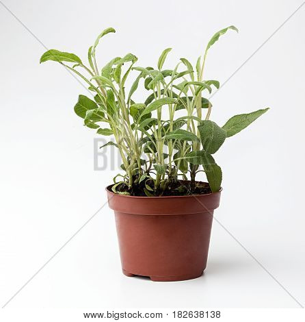 Sage In Flowerpot On White Background. Plant In Flowerpot