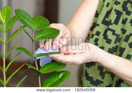 Elderly female hands taking care of plants at her home, wiping the dust from flower's leaves
