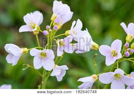Springtime. Macro shot of a cuckoo flower with buds and first blossoms.
