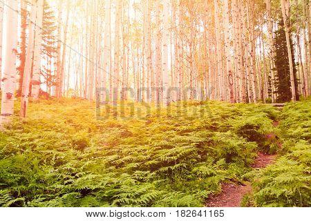 Aspen forest near Crested Butte Colorado .