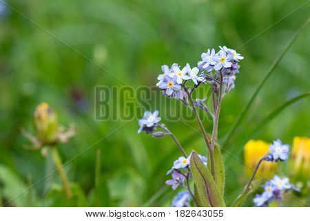 Springtime. Macro shot of a forget-me-not in field.