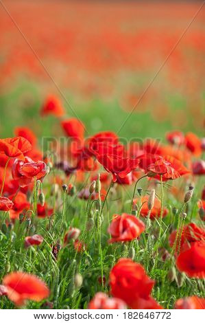 Poppy farming, nature, agriculture concept - industrial farming of poppy flowers - close up of red poppies over red flowers background - empty space for text